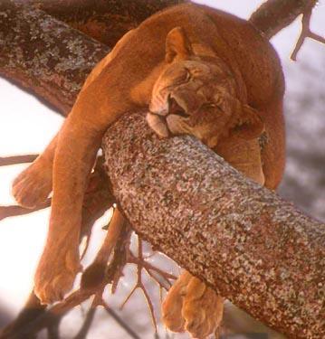 sleepy_lion.JPG